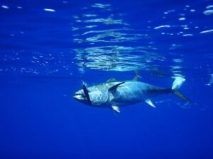 Pelagic fish. Tuna on lure.