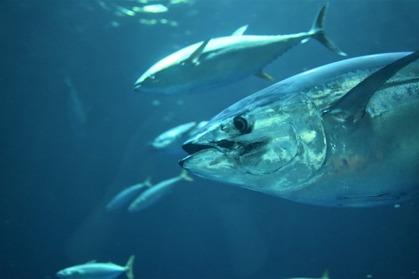 What does pelagic fish mean?
