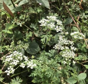Poison Hemlock be careful when foraging wild plants