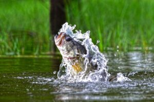 When do bass jump out of the water?